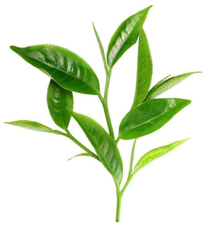 Tea tree silica na výrobu mydla a kozmetiky