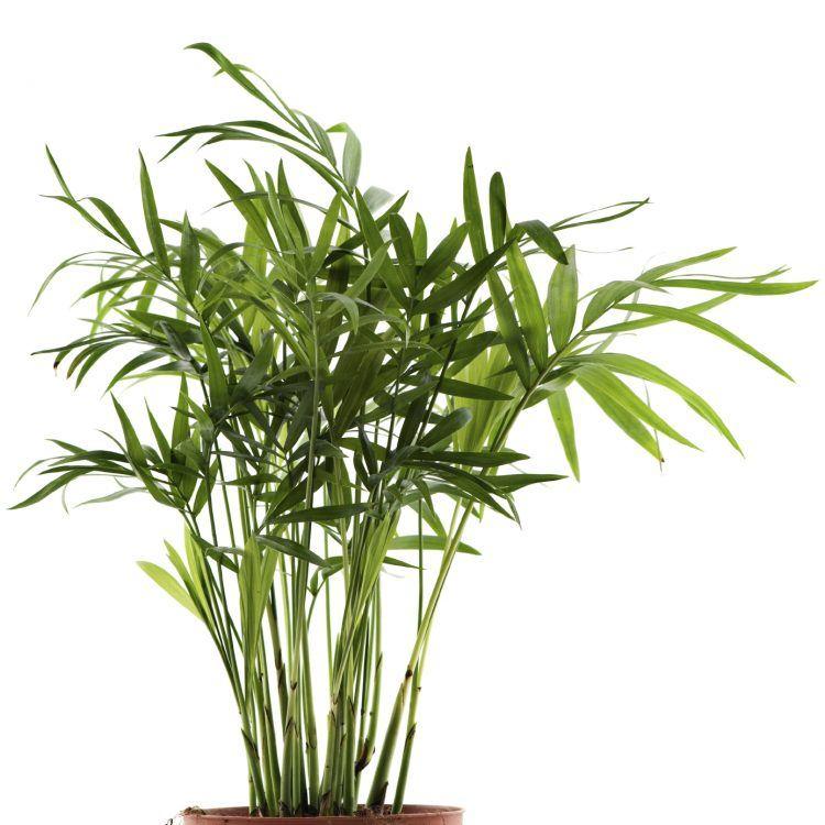 Bambusová vôňa na mydlá a kozmetiku