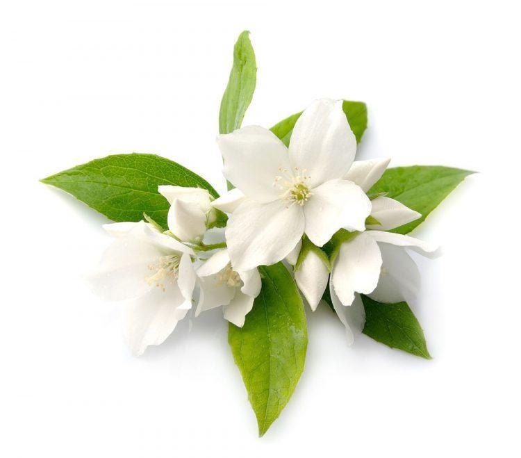 Jazmínová vôňa na výrobu kozmetiky a mydiel