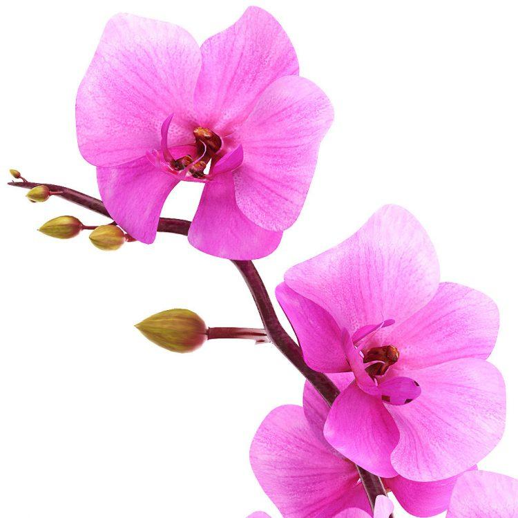 Ruža a orchidea vôňa na výrobu mydla a kozmetiky